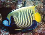 Emperor Angelfish  Photo and care