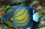 Annularis Angelfish Marine Fish (Sea Water)  Photo