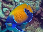 Blue Girdled Angelfish Marine Fish (Sea Water)  Photo