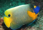 Blueface Angelfish Marine Fish (Sea Water)  Photo
