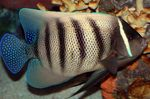 Six Bar Angelfish Marine Fish (Sea Water)  Photo