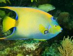 Queen Angelfish Marine Fish (Sea Water)  Photo