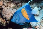 Maculosus Angelfish Marine Fish (Sea Water)  Photo