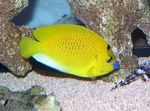 Flagfin Angelfish Photo and care