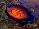 Coral Beauty Angelfish Marine Fish (Sea Water)  Photo