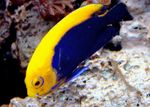 Fireball Angelfish Marine Fish (Sea Water)  Photo