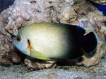 Half Black Angelfish Marine Fish (Sea Water)  Photo