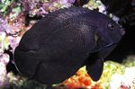 Black Nox Angelfish, Midnight Angelfish Photo and care