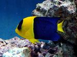 Bicolor Angelfish Marine Fish (Sea Water)  Photo
