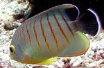 Red Stripe Angelfish Marine Fish (Sea Water)  Photo
