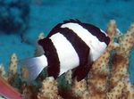 Three Stripe Damselfish  Photo and care