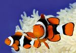 True Percula Clownfish  Photo and care