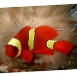 Yellowstripe Maroon Clownfish  Photo and care