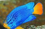 Blue Damselfish  Photo and care
