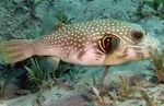 White-spotted Puffer  Photo and care