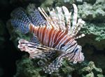 Volitan Lionfish  Photo and care