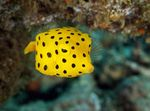 Cubicus Boxfish Photo and care
