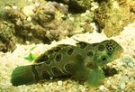 Spotted Green Mandarin Fish Photo and care