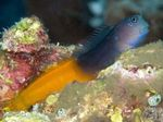 Bicolor Blenny Photo and care
