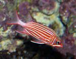 Crown squirrelfish Photo and care