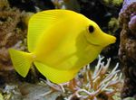 Yellow Tang Photo and care