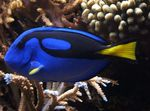 Yellow Belly Regal Blue Tang  Photo and care