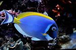 Powder Blue Tang  Photo and care