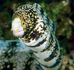 Snowflake Eel  Photo and care