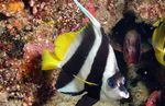 Heniochus Black & White Butterflyfish  Photo and care