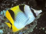 Falcula Butterflyfish  Photo and care
