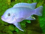 Cobalt Blue Zebra Cichlid Freshwater Fish  Photo