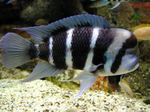 Frontosa Cichlid Photo and care