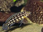 Marlieri Cichlid Freshwater Fish  Photo