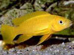 Lemon Cichlid, Orange Leleupi Cichlid Freshwater Fish  Photo