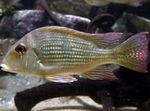 Surinamen Geophagus Photo and care