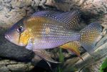 Threadfin Acara Flussfisch  Foto