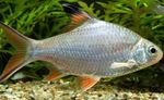 Tinfoil Red Tail Barb  Photo and care
