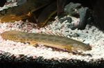 Guinean bichir  Photo and care
