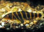 Tiger Loach, Bengal Loach Photo and care