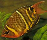 Chocolate Gourami  Photo and care