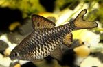 Checkered Barb Freshwater Fish  Photo