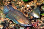 Thick Lipped Gourami Photo and care