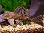 Pleco, suckermouth catfish Photo and care
