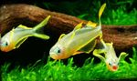 Forktail Rainbowfish Freshwater Fish  Photo