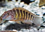 Striped Goby Cichlid Freshwater Fish  Photo