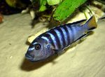 Elongatus Freshwater Fish  Photo