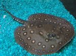 Ocellate river stingray Freshwater Fish  Photo
