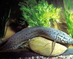 Marbled lungfish  Photo and care