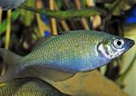 Lake Wanam rainbowfish,   Photo and care