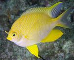 Golden damselfish  Photo and care